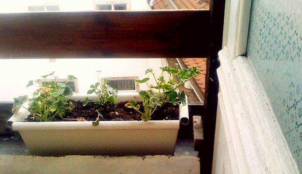 Geranien auf dem Balkon